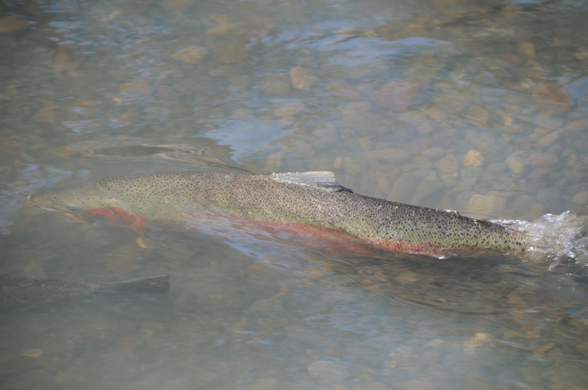 Hood canal steelhead project long live the kings for Hood river fishing