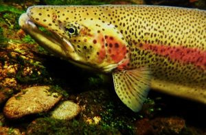 ACTION: Tell your state legislators to save our Washington state fish!
