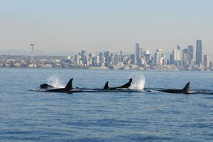 Governor Inslee Announces Orca Recovery Task Force