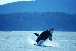 Fighting for our Killer Whales