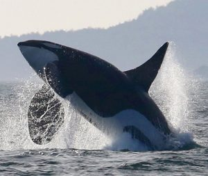 Southern Resident Killer Whales to Benefit from More Than $700,000 in New Grants