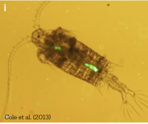 Copepod with Plastics