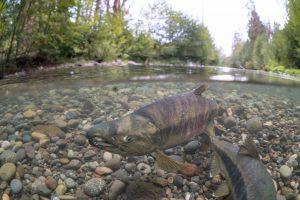 Hatcheries and Wild Fish