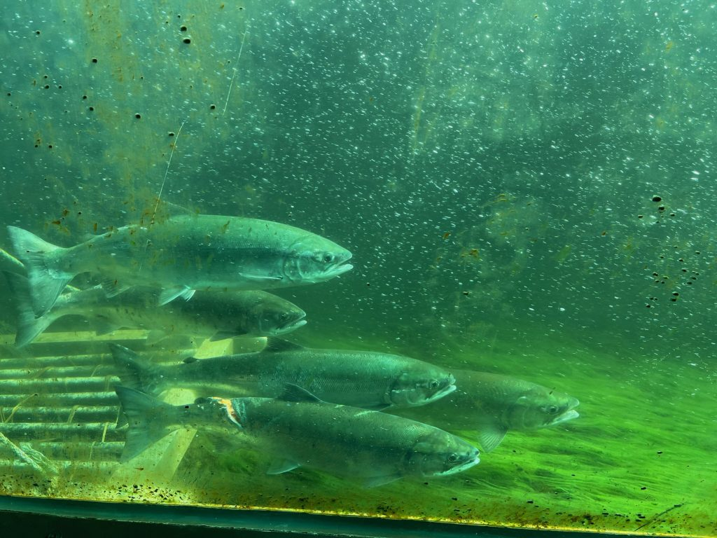Image of five adult sockeye salmon viewed through a greenish glass. The fish on the bottom has a large gash on its back.
