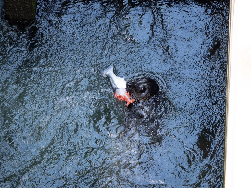 Image looking down on the surface of dark water. A brown harbor seal's head emerges in the center, with the tail half of a salmon in its mouth, ending in torn orange flesh.